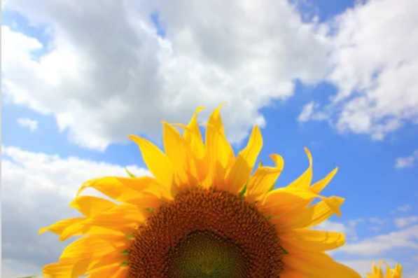 Sunflower_sky
