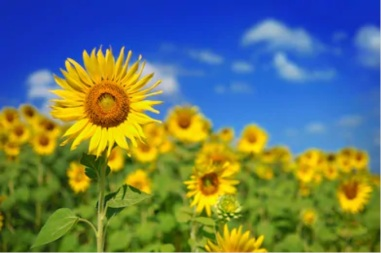 Sunflower_sky2