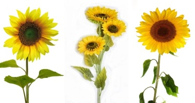 sunflower_triplets